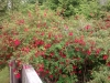 Gigantic fuchsia bush