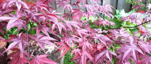 My Japanese Maple