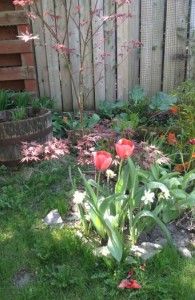 Tulips and Japanese Maple