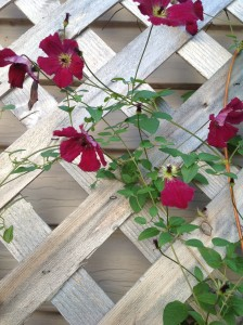 One of the clematis that's growing up from below the deck.  They seem to like it there.