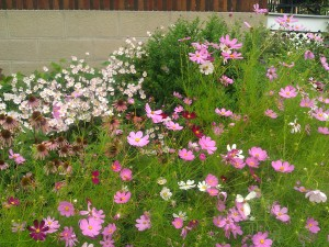 A lovely late summer bed with cosmos and Japanese anemone