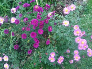 Asters and Mums, so nice to have in the garden for the fall!