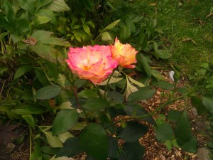 These are some of the roses I planted this year.It was attacked by blackspot but I hope for better next year!