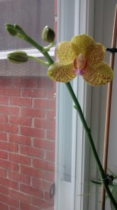 Gorgeous orchid given to me in memory of my mother.