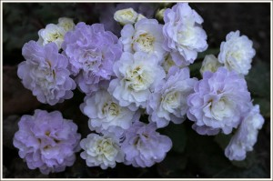 """As you can see, there are many petals per bloom, thus, the term """"double""""."""
