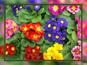 Single primroses come in an assortment of vibrant colours