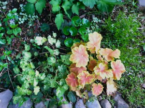 The mottled leaves of heuchera are what make them interesting