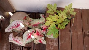 New additions to my garden: heucherella Alabama sunrise and Miss Muffet Caladium