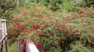 Here's the enormous fuchsia bush growing beside the cottage we rented.