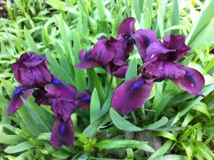 Some of my irises, in happier days.