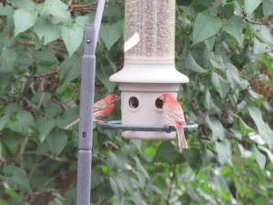 Couple of house finches having a snack at my bird feeder