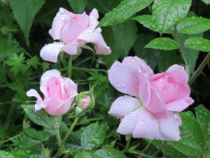 A favourite rose of mine, name lost in the mists of time