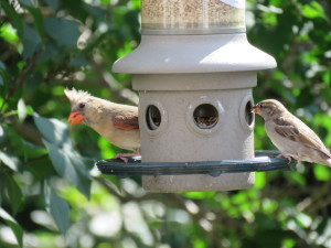 A female cardinal and a sparrow, sharing the feeder.