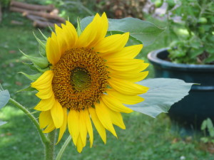 The one and only sunflower that the squirrels ignored